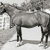 His Majesty, sire of Pleasant Colony.   Sun Colony was the dam of Pleasant Colony (photo not available).